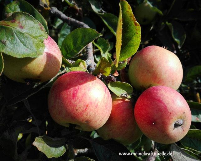 Kraftquelle, regional, regionale Lebensmittel, regional einkaufen, nachhaltig einkaufen, Kaufen beim Erzeuger, Äpfel
