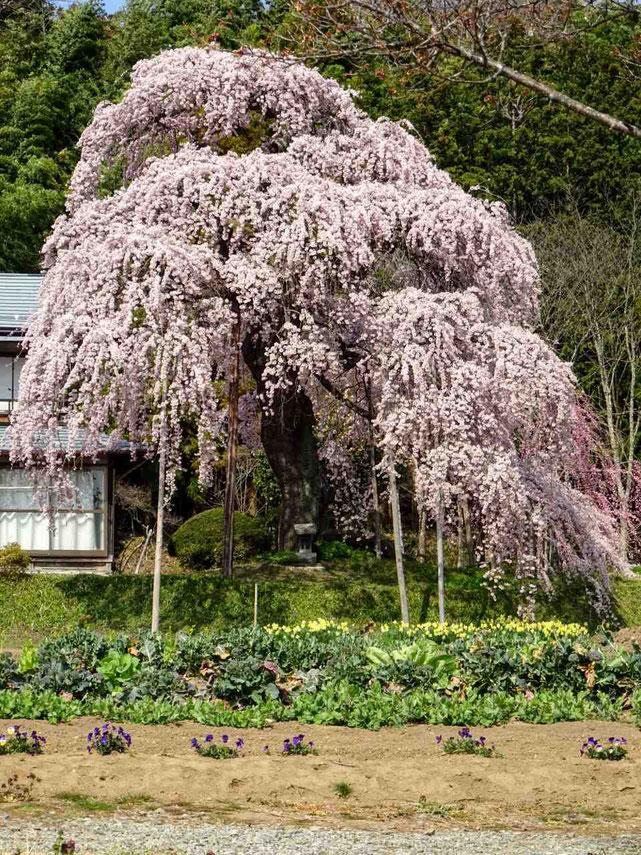須賀川市 横田陣屋御殿桜
