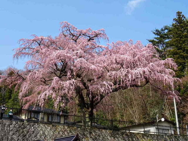 須賀川市 永泉寺の桜