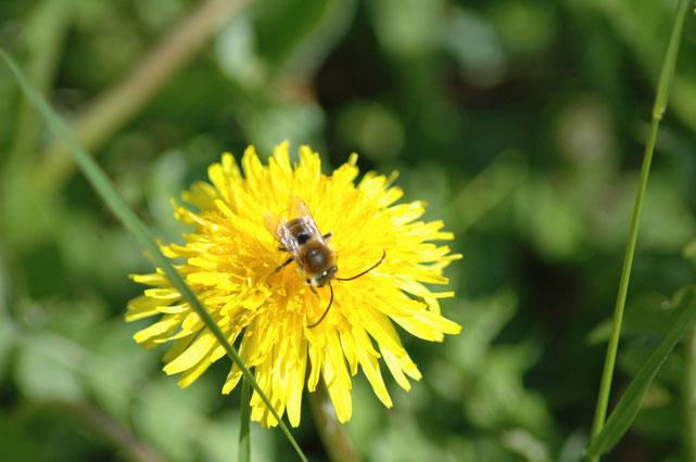 Wildbiene FFH-Mähwiese Erhaltungszustand A Sondelfingen