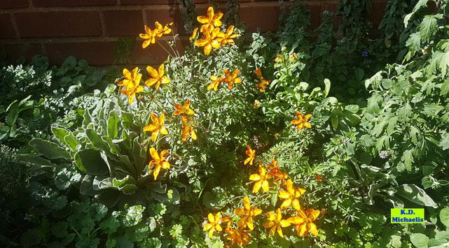 In der Sonne leuchtende goldgelbe Blüten der Goldmarie / Bidens / Zweizahn / Goldzweizahn von K.D. Michaelis