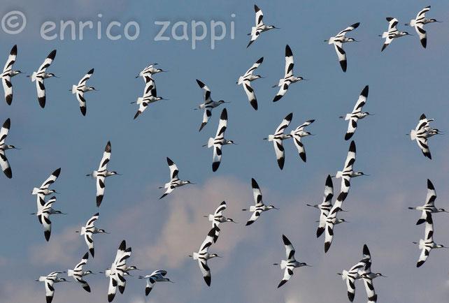 Un bellissimo stormo di Avocette (Recurvirostra avosetta Linnaeus, 1758) in volo sulle Saline di Cervia in una giornata invernale fredda, ma soleggiata.