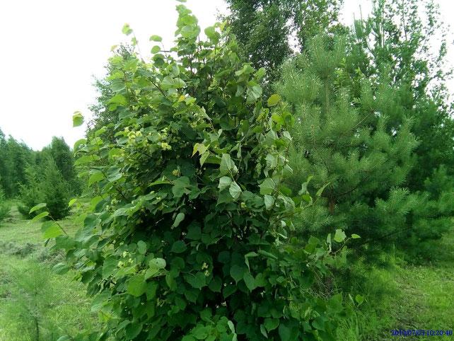 圖片的前景是一棵椴樹,由Lena Borko-Bruyaka在2010年種於東北方的活圍籬。2019年,這棵椴樹第一次開花,我們採集了許多芬芳的椴樹花。