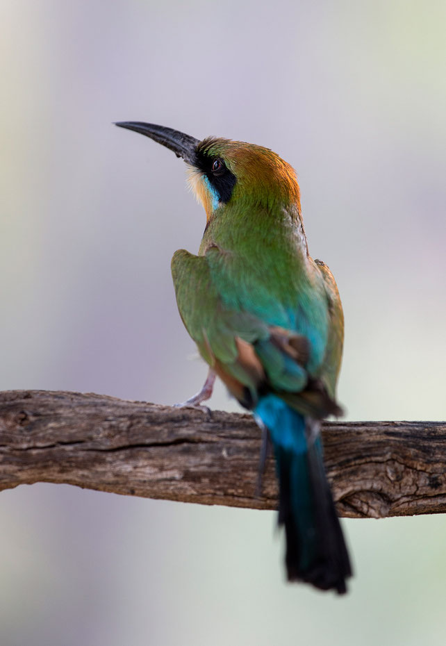 Colorful Bee Eater sitting with amazing feathers, Outback, Northern Territory, Australia, 1257x1820px