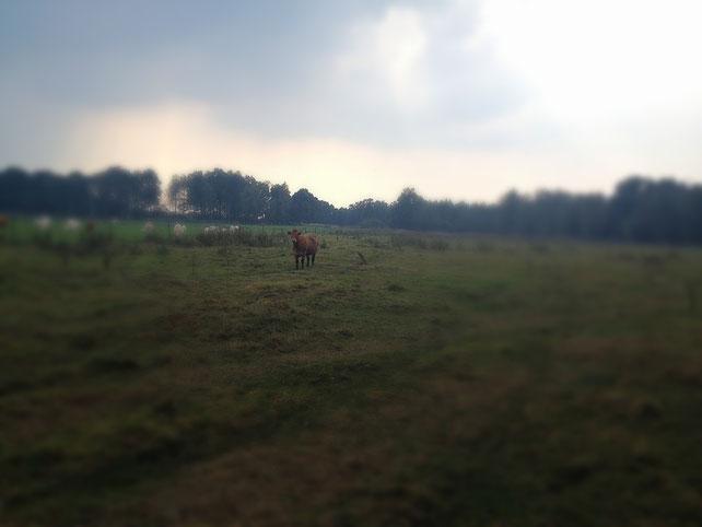 Auf der Wiese linst mich eine Kuh an