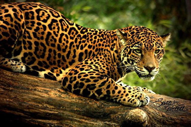 Ici on distingue parfaitement les tâches en « rosette » avec les taches plus sombre à l'intérieur.  / Crédit Photo: http://globe-views.com/dreams/jaguar.html