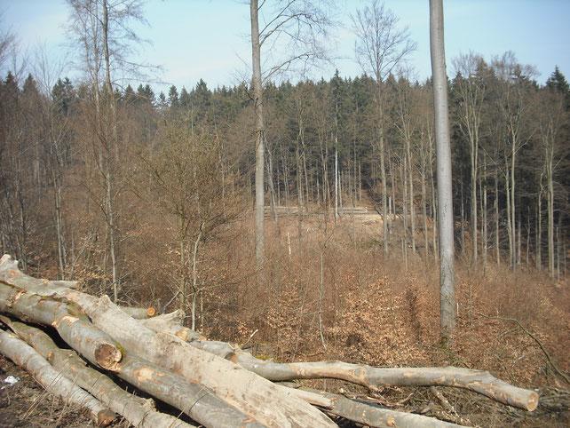 Abgeräumter Buchenwald mittels Schirmschlag. Foto: N. Panek