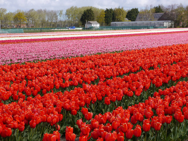 Tulpenfelder in Lisse / Holland