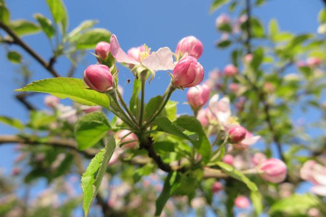 Apfelblüten in meinem Garten.