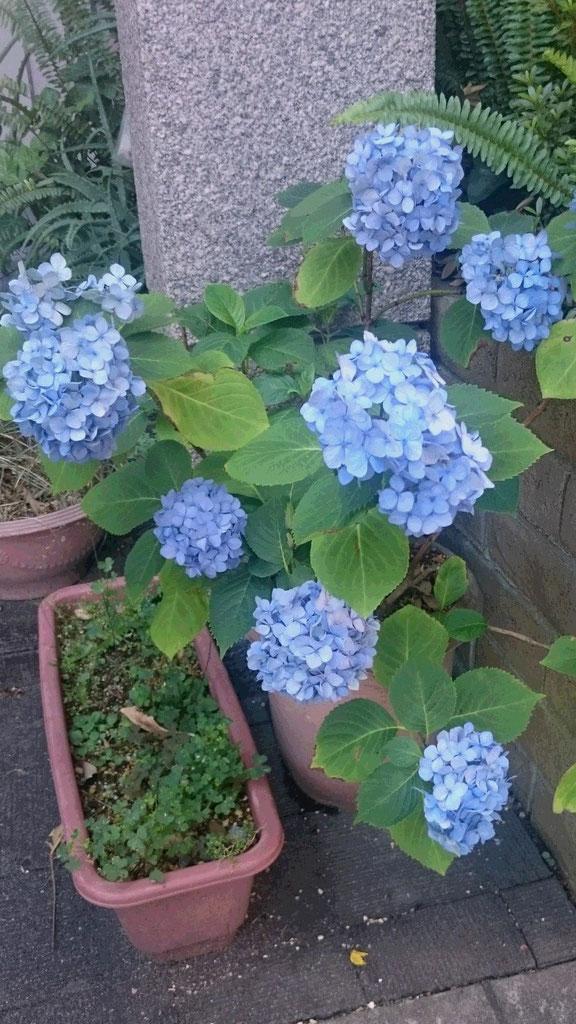 セレーノビルの紫陽花