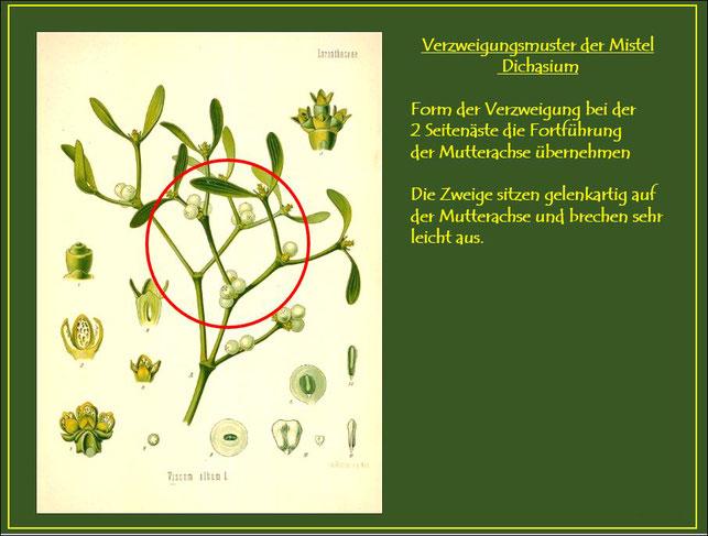 Abbildung des Verzweigungsmusters (Dichasium) der Mistel.