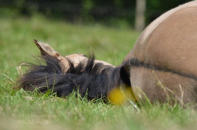 sieste et roulade, rocky mountain horses