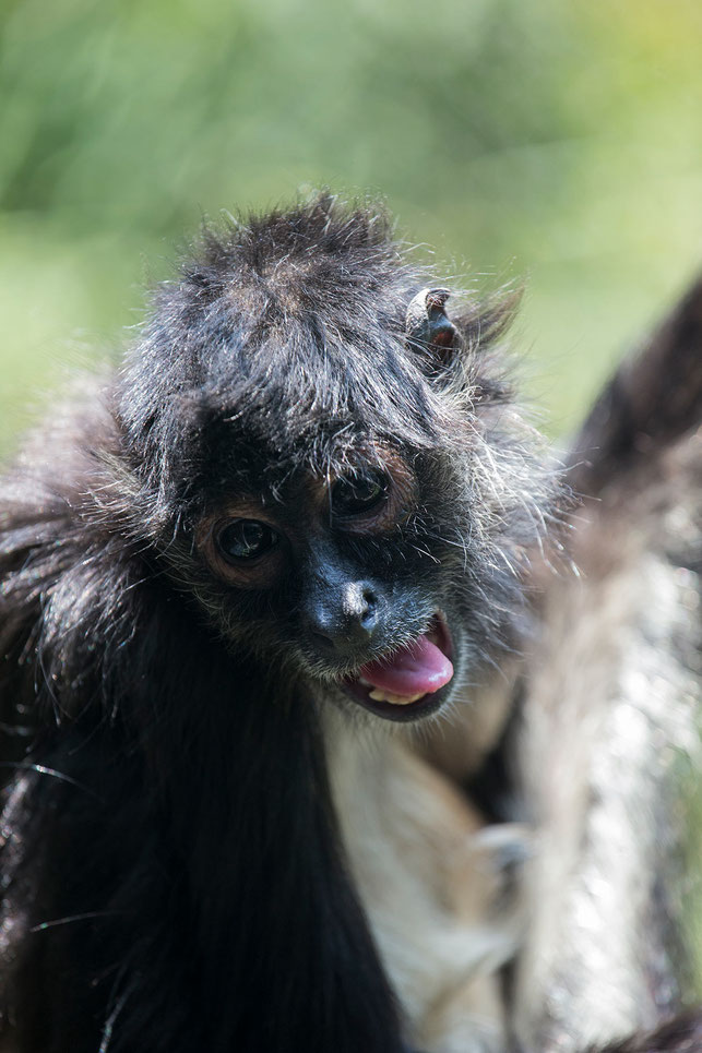 Crazy looking monkey with tongue in the Mexico City Zoo, Mexico, 1213x1820px