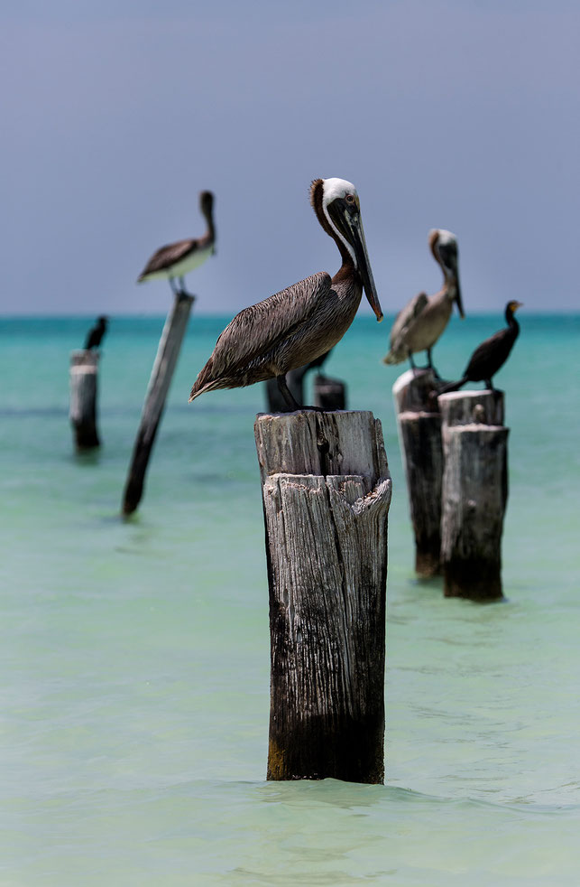 Pelicans and Cormorants waiting on wood poles in the turquoise Gulf of Mexico for fish Holbox, Yucatan, Mexico, 1192x1820px