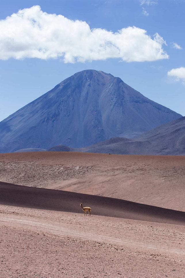 Guanaco in the Atacama Desert with Vulcano in the back, San Pedro, Altiplano, Chile, 1213x1820px