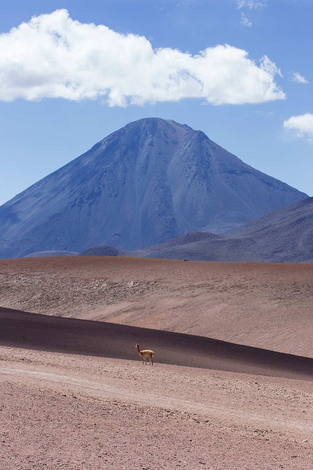 Guanaco in the Atacama Desert with Vulcano in the back, San Pedro, Altiplano, Chile, 1213x1820px