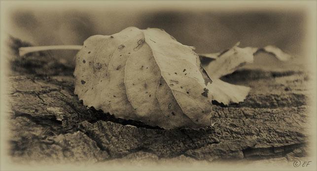 Das Ende eines Pappelblattlebens