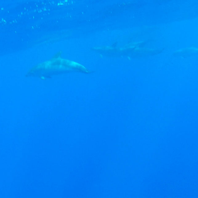 Delfinschule unter Wasser, Azoren, Portugal