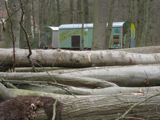 Übermäßige Fällung von Altbäumen