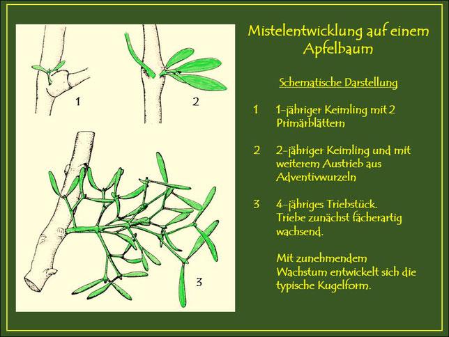 Schematische Darstellung der Mistelentwicklung auf einem Apfelbaum. Vom einjährigen Austrieb mit zwei Primärblättern bis zum vierjährigen, zunächst fächerartig wachsenden Triebstück.
