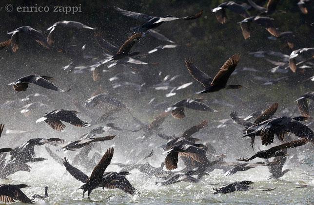 La corsa per l'involo dei cormorani sull'acqua provoca talmente tanti spruzzi d'acqua che l'atmosfera circostante sembra pervasa da una sorta di nebbiolina.....