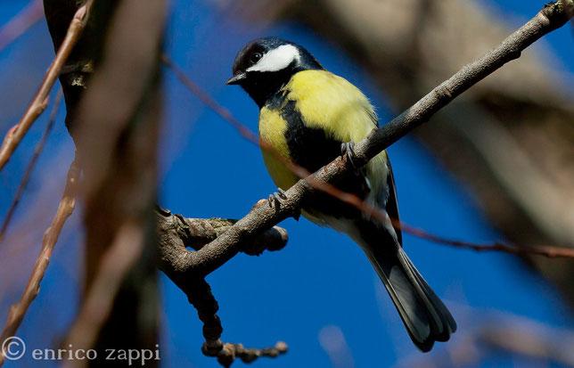 La cinciallegra: un insettivoro che ci allieta con il suo canto variegato e con il suo elegante abito colorato.