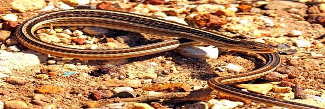 Lucertola serpente