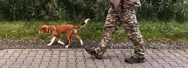 Adi, ein Österreichsicher Pinscher Welpe, geht an der kurzen Leine Gassi, um Leinenführigkeite zu üben.