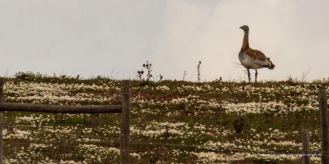 Großtrappe Grosstrappe Großtrappen Grosstrappen Steppe Castro Verde Portugal Pseudosteppe Vogelbeobachtung Great Bustard Ornitho Birding
