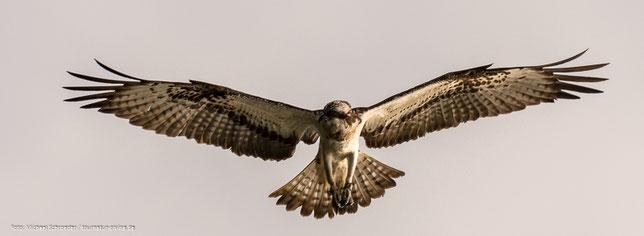 """Fischadler im Naturschutzgebiet """"Fischteiche in der Lewitz"""""""