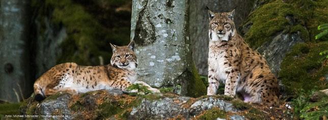 Luchse im Gehege des Nationalpark Bayerischer Wald