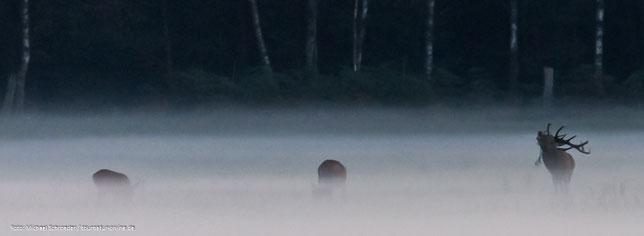 Hirsche im Nebel
