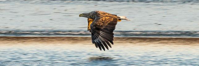 Seeadler über vereistem See im Naturschutzgebiet Ilkerbruch
