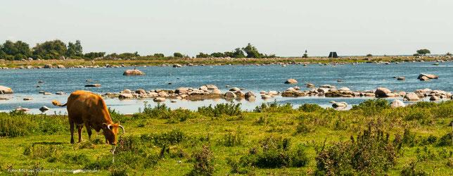 typisch Südschweden - Küste - Steine - Rinder