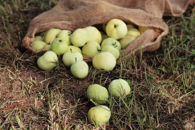 Äpfel in einem Erntesack