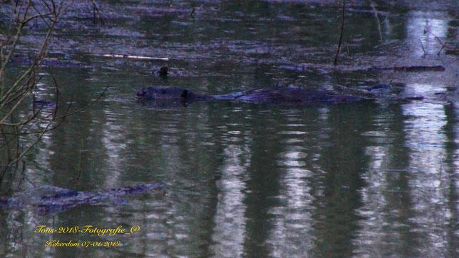 Bever zwemt door de rommel oorzaak hoge waterstand