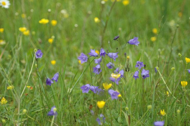 Rundblättrige Glockenblume auf FFH-Mähwiese  Erhaltungszustand A Sondelfingen