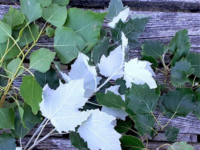 Belaubte Zweige der europäischen Pappel-Arten von links nach rechts: SCHWARZPAPPEL (Populus nigra), WEISS- oder SILBERPAPPEL (Populus alba) und ESPE oder ZITTERPAPPEL (Populus tremula).