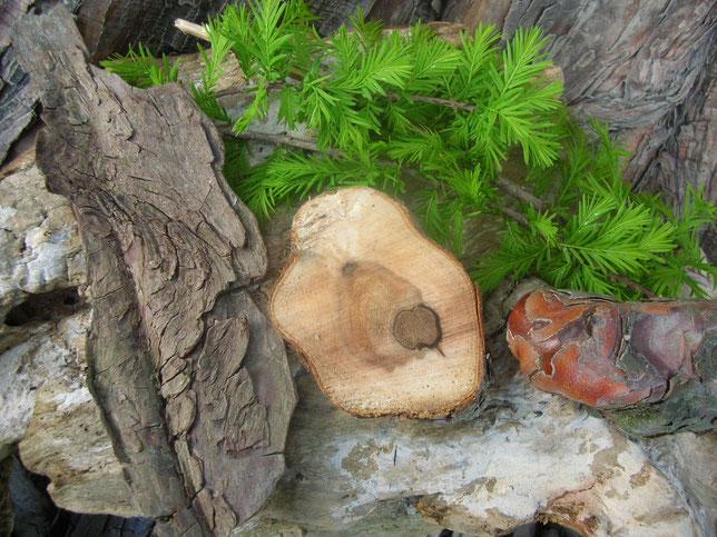 Sumpfzypresse Sumpf Zypresse Räuchern Räucherwerk