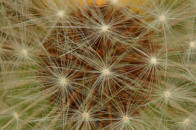 Löwenzahn, Schärfenebene auf die Schirme der Samenkapseln gelegt