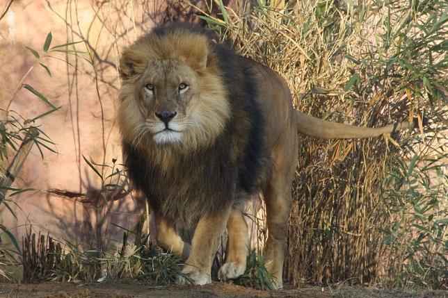 Löwen-Kater