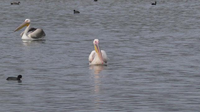 Пеликаны на озере Хула