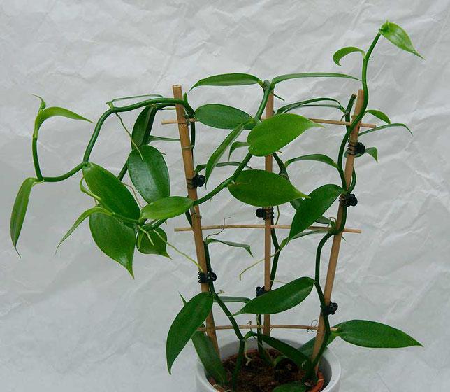 Vanille Orchidee in Wien kaufen