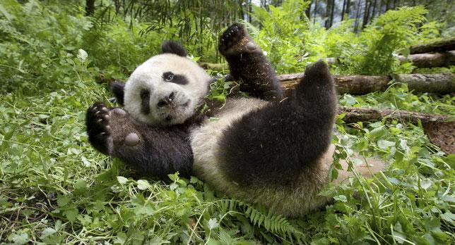 """Comme dans tout film animalier qui se respecte, il y a un panda dans """"Un nouveau jour sur Terre"""", coproduit par la Chine (©Paramount Pictures/BBC Earth)."""