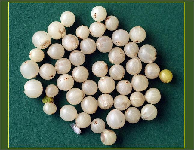 Mistelbeeren, mit den hellen Längsstreifen und in der Größe (5-7mm) besteht eine Ähnlichkeit mit den Beeren der Weißen Johannisbeeren.