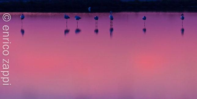 Ultime luci del dopo tramonto si specchiano nell'acqua quieta della Salina dove giovani fenicotteri stanno riposando.