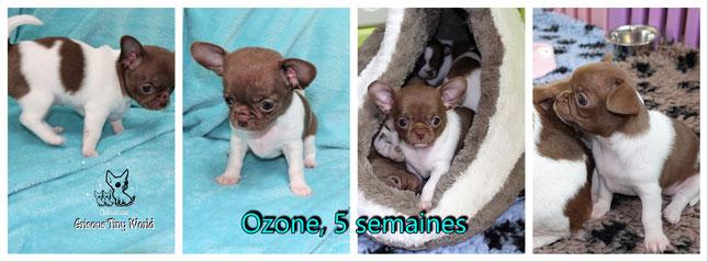 Photo d'un chiot Chihuahua fauve de 10 semaines