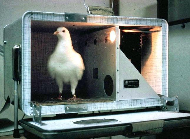 """""""Skinnerbox"""" für eine Taube. Statt eine Taste zu drücken, pickt die Taube auf runde Plastikscheibchen (die unterschiedlich beleuchtet werden können)"""