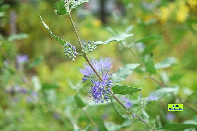 Nahaufnahme der Knospen und der geöffneten blauen Blüten der Bartblume von K.D. Michaelis