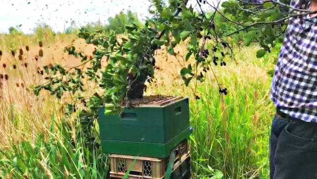 Imker-Video: Bienenschwarm vom Baum in die Bienenbeute umsiedeln mit Imkermeister Hartmut Münch